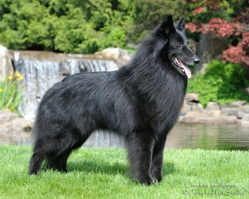 Belgian Sheepdog Champion | Belgian sheepdog, Belgian shepherd ...