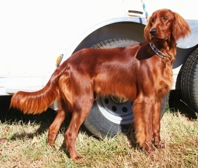 Irish Setter Dog Breed Information and Pictures