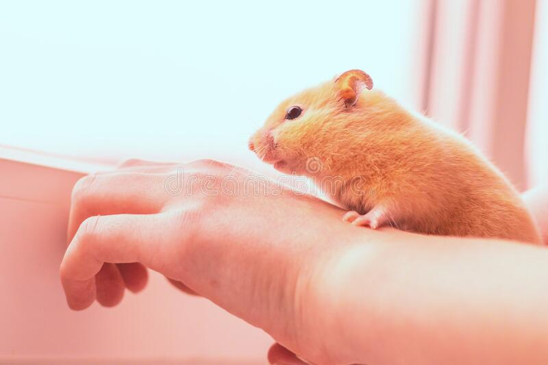 Hamster Natural Stock Photos - Download 1,036 Royalty Free Photos