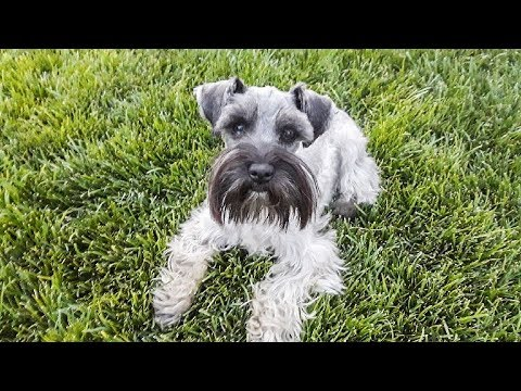 KID PROOF Toy Schnauzer in Training - SO ADORABLE!! - YouTube