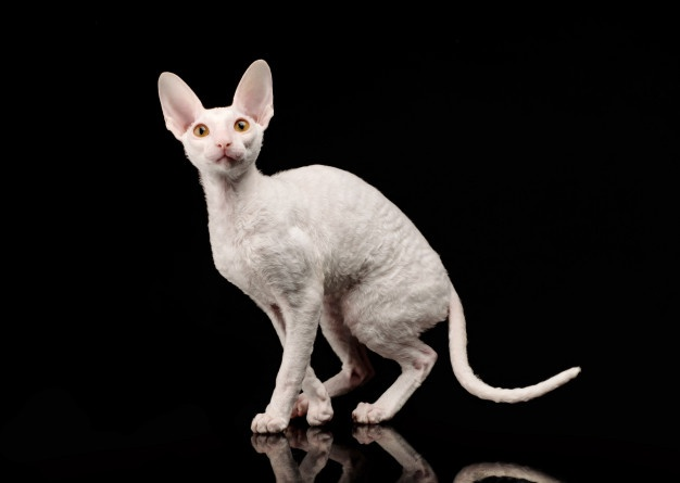 Cornish Rex | Free Vectors, Stock Photos & PSD
